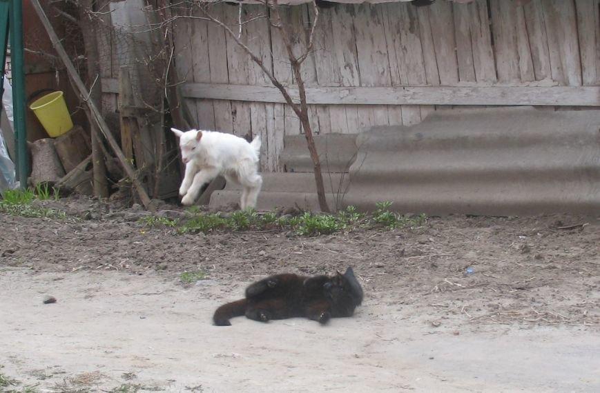 У самому центрі Полтави живе козеня (Фото), фото-3