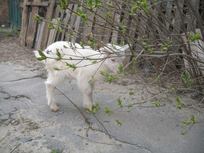 У самому центрі Полтави живе козеня (Фото), фото-4