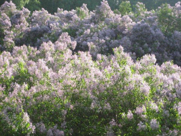 Свято Бузковому гаю у Диканці відбудеться 9 травня (Фото), фото-5