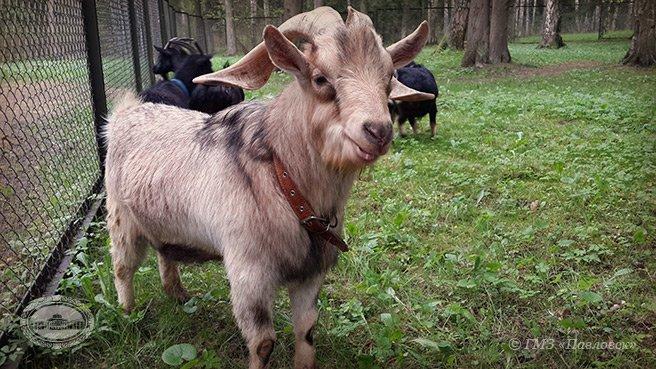 Павловск, Павловский парк, козы, павлины, животные