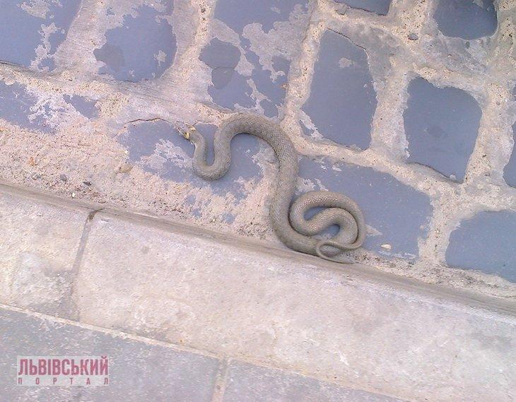 У центрі Львова переполох: на зупинці громадського транспорту повзає змія (ФОТО), фото-1