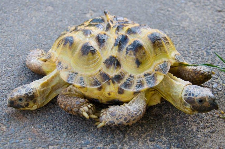Она не ест за двоих и дружит с соседями: в Харькове появилась уникальная двуглавая черепаха, фото-2