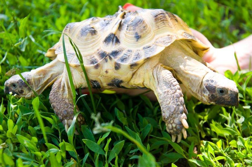 Она не ест за двоих и дружит с соседями: в Харькове появилась уникальная двуглавая черепаха, фото-3