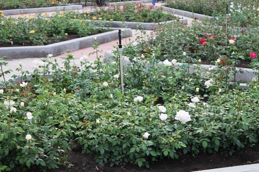 В Артемовске впервые зацвела Аллея роз (ФОТО), фото-2
