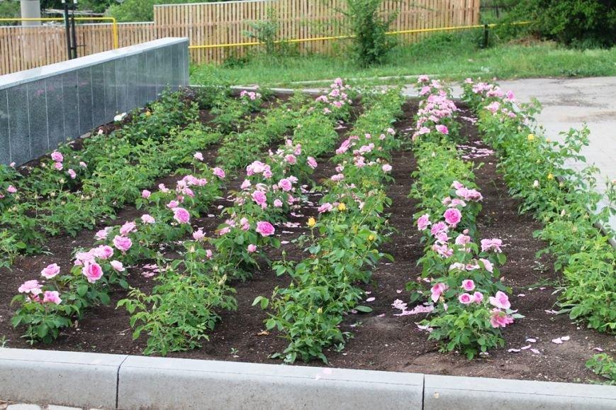 В Артемовске впервые зацвела Аллея роз (ФОТО), фото-1
