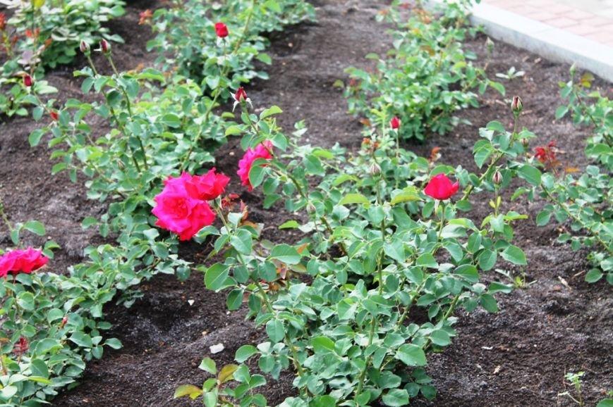 В Артемовске впервые зацвела Аллея роз (ФОТО), фото-13