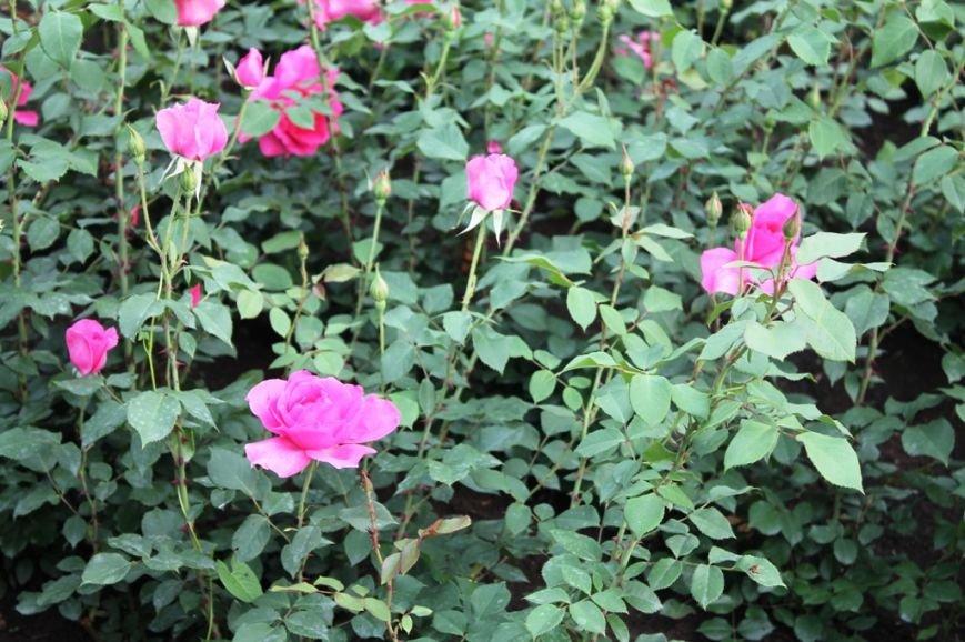 В Артемовске впервые зацвела Аллея роз (ФОТО), фото-12