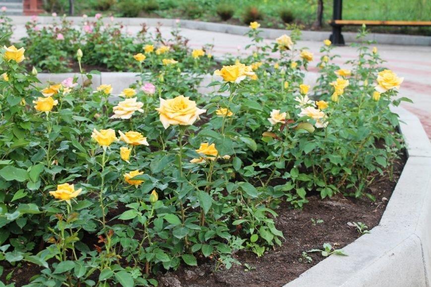 В Артемовске впервые зацвела Аллея роз (ФОТО), фото-4