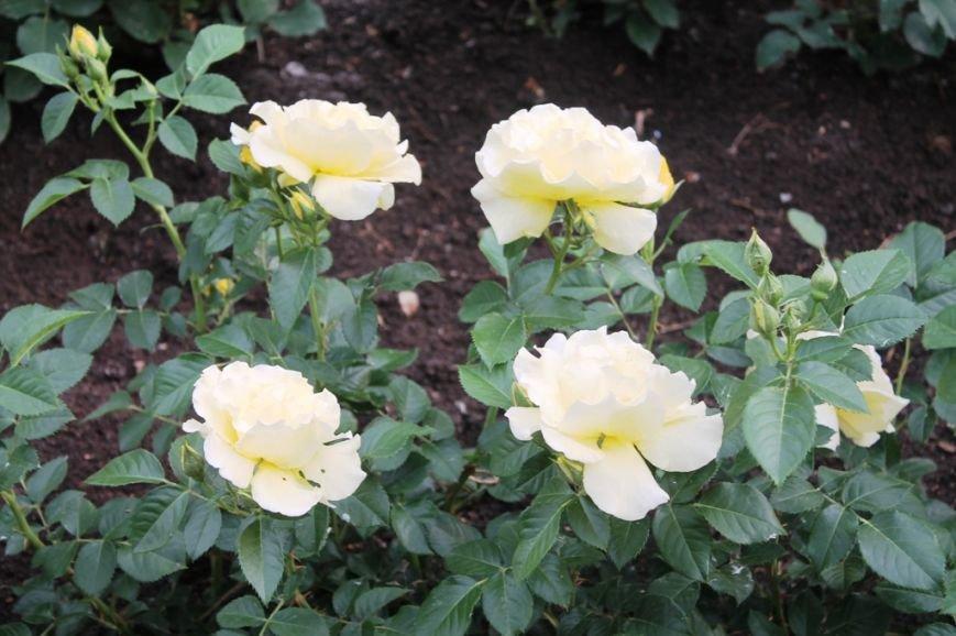 В Артемовске впервые зацвела Аллея роз (ФОТО), фото-14