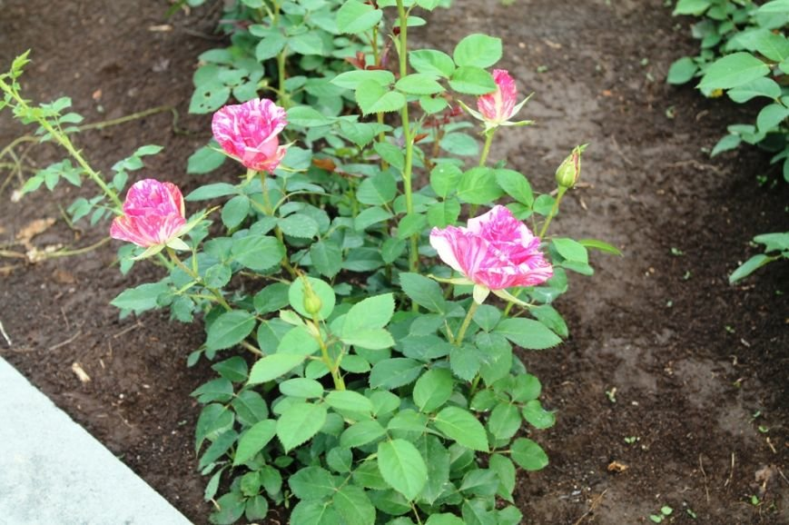 В Артемовске впервые зацвела Аллея роз (ФОТО), фото-11