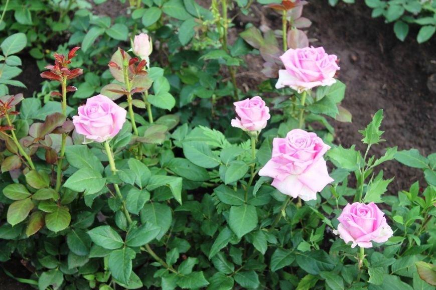 В Артемовске впервые зацвела Аллея роз (ФОТО), фото-15