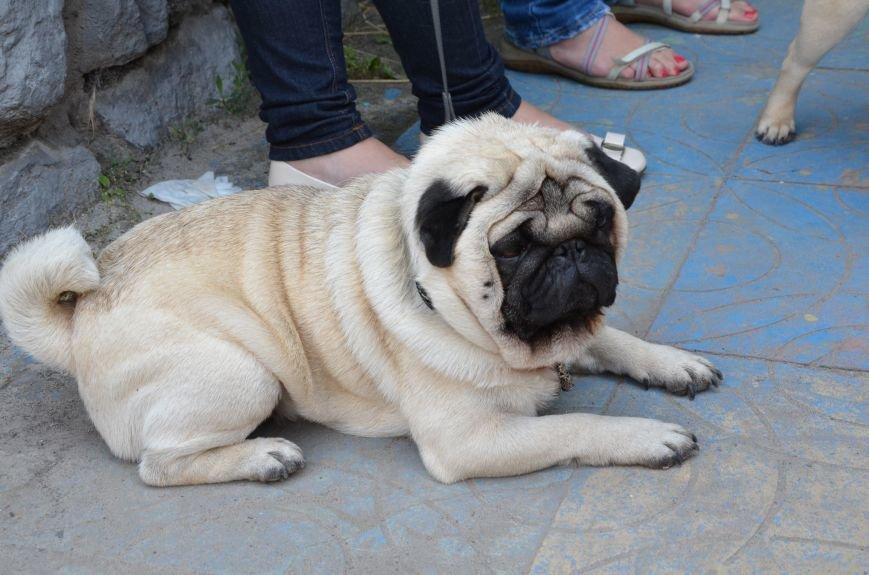 В Мариуполь на выставку собак привезли необычайно редкую породу – тазу (ФОТОРЕПОРТАЖ), фото-39