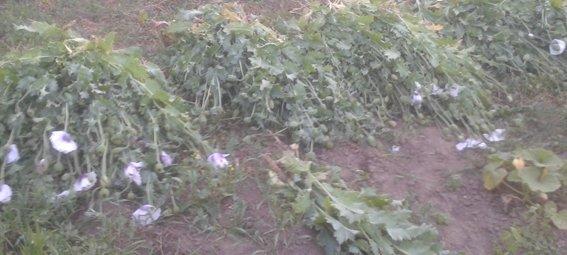 На Рівненщині міліціонери знищили черговий посів маку (Фото), фото-1
