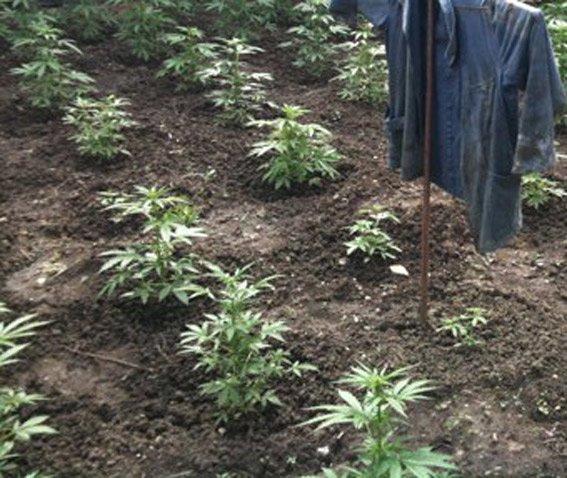 Донетчанин приехал на Харьковщину, чтобы все лето выращивать коноплю, фото-1