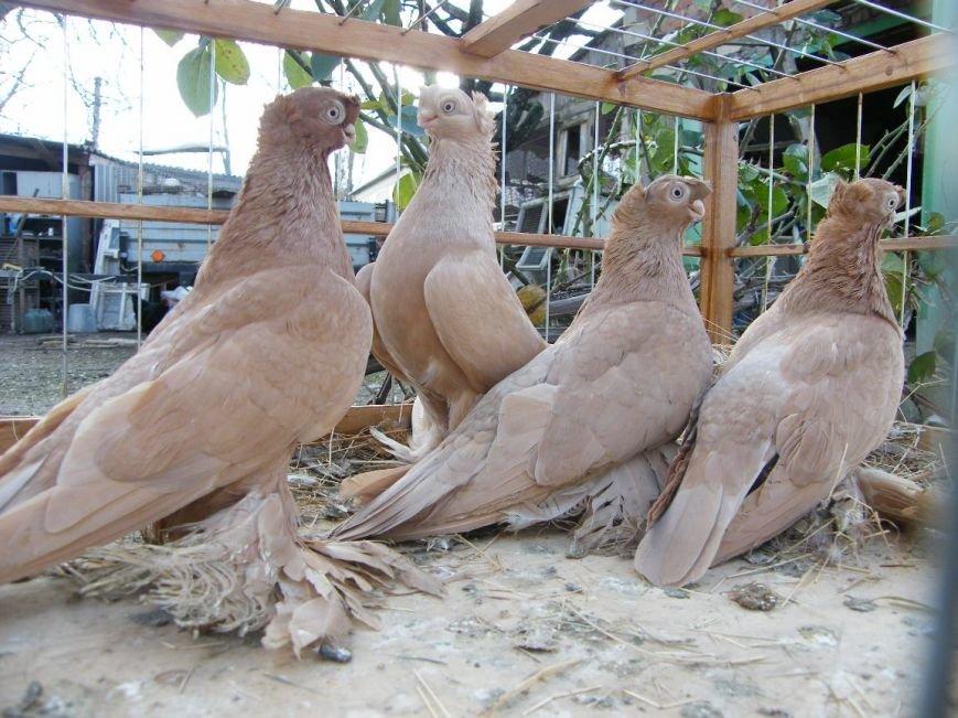 В Красноармейске состоялись Европейские соревнования клубов голубей-любителей (ФОТО), фото-1