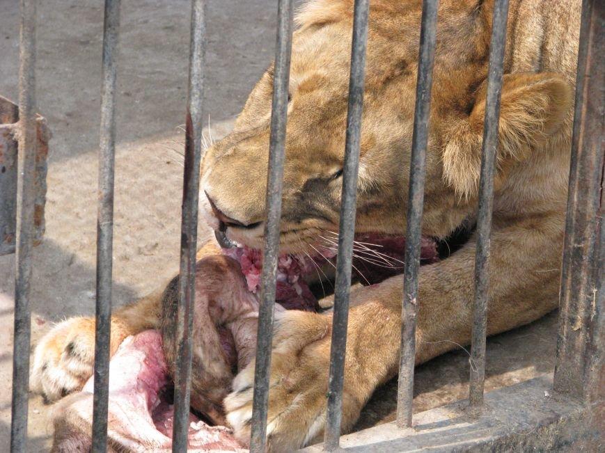 Жизнь питомцев в Васильевском зоопарке: 60 килограмм мяса в день и расширение жилплощади (ФОТОРЕПОРТАЖ), фото-4