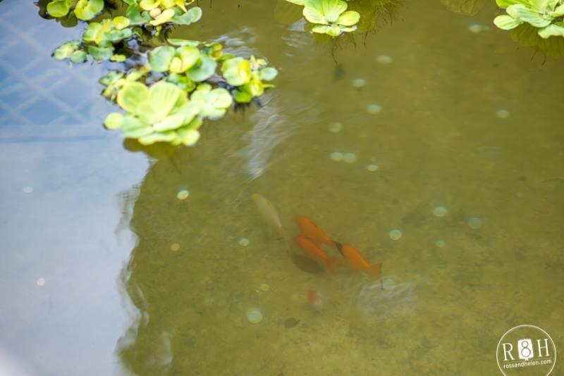 У фонтан, що на площі Ринок запустили живих рибок (ФОТО), фото-2