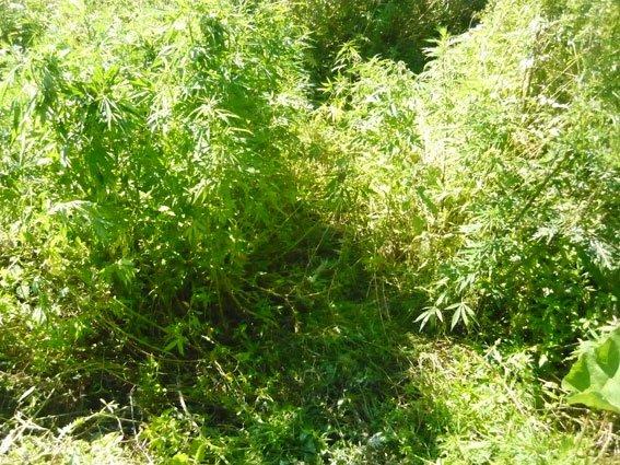 В Черниговском районе милиция уничтожила плантацию конопли, фото-2