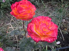 rosa-3