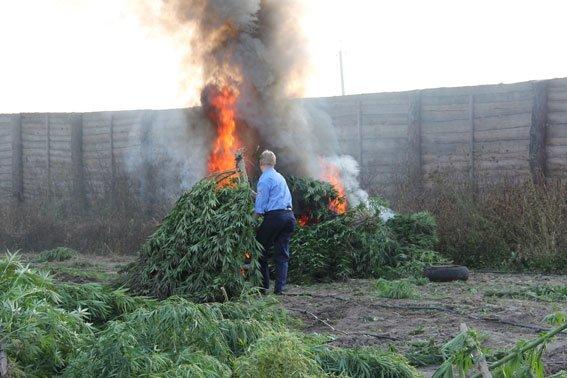 Недалеко от Чернигова милиция нашла плантацию конопли на 10 миллионов гривен, фото-3