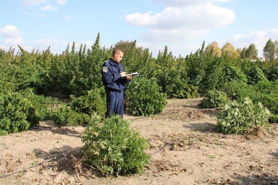 Недалеко от Чернигова милиция нашла плантацию конопли на 10 миллионов гривен, фото-5