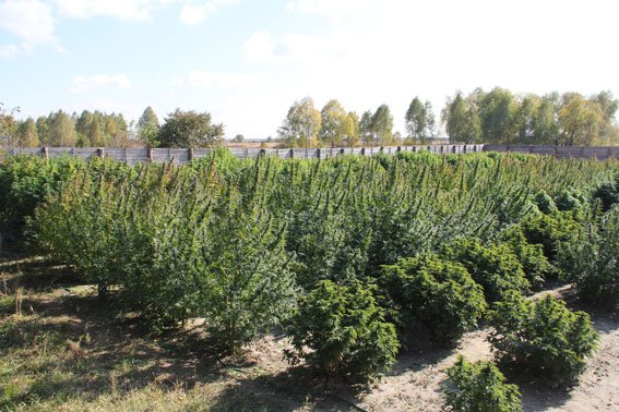Недалеко от Чернигова милиция нашла плантацию конопли на 10 миллионов гривен, фото-6