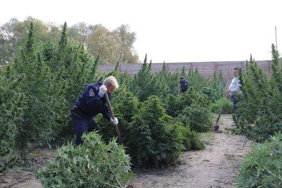 Недалеко от Чернигова милиция нашла плантацию конопли на 10 миллионов гривен, фото-2
