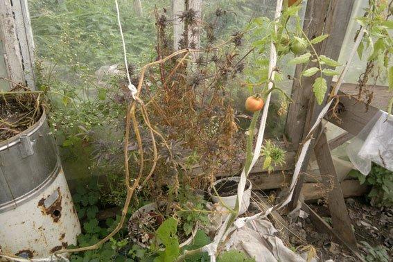 Зброя та наркотики: на Львівщині «винахідник» вирощував марихуану поруч із помідорами (ФОТОРЕПОРТАЖ), фото-4