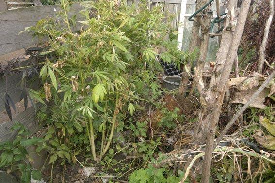 Зброя та наркотики: на Львівщині «винахідник» вирощував марихуану поруч із помідорами (ФОТОРЕПОРТАЖ), фото-1
