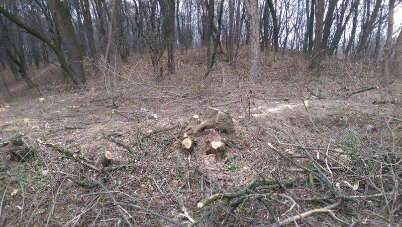 У Чернівцях виявили незаконну вирубку зелених насаджень на території заповідника (фото) - фото 1
