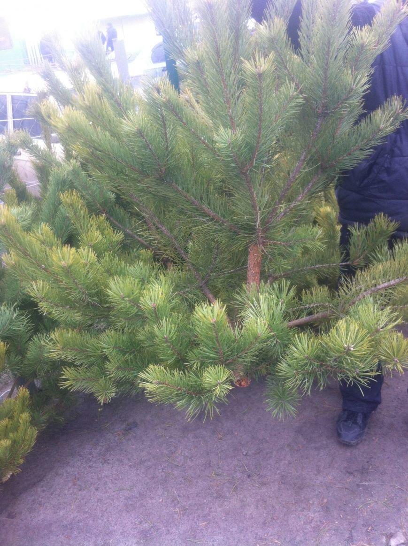 Во сколько харьковчанам обойдется новогодняя елка (ФОТО), фото-2