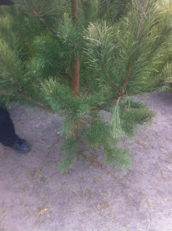 Во сколько харьковчанам обойдется новогодняя елка (ФОТО), фото-3