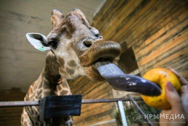 жираф7