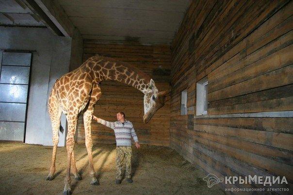 жираф6