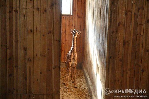 жираф5