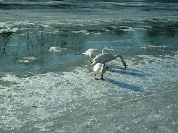 Річку Уж облюбували лебеді (ФОТО) (фото) - фото 4