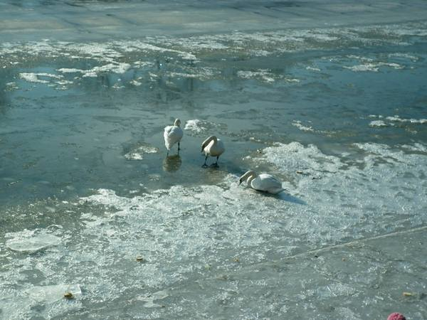 Річку Уж облюбували лебеді (ФОТО) (фото) - фото 6