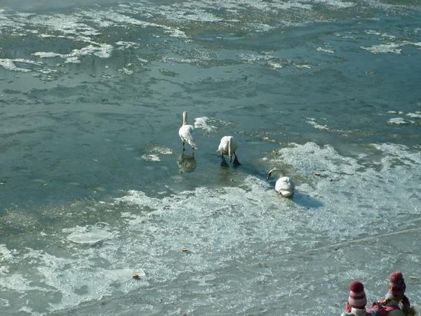 Річку Уж облюбували лебеді (ФОТО) (фото) - фото 5