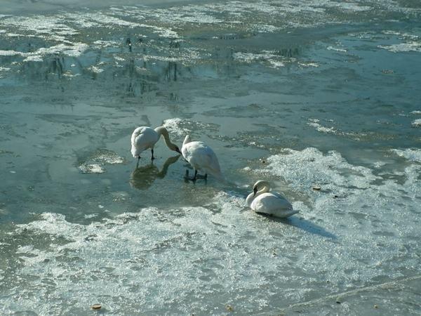 Річку Уж облюбували лебеді (ФОТО) (фото) - фото 7