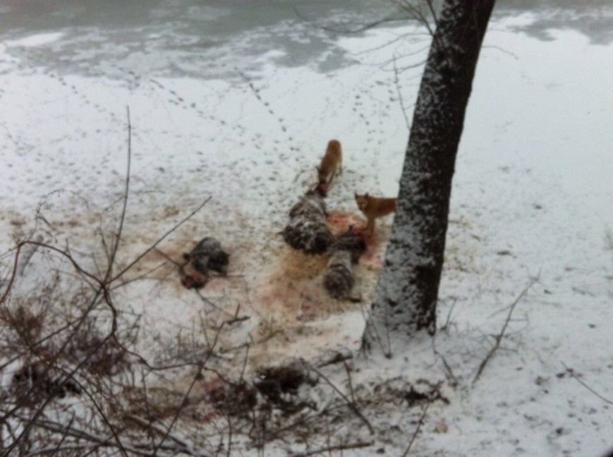 В Сумах на Псле бродячие собаки обгладывают до костей баранов (ФОТО) (фото) - фото 1