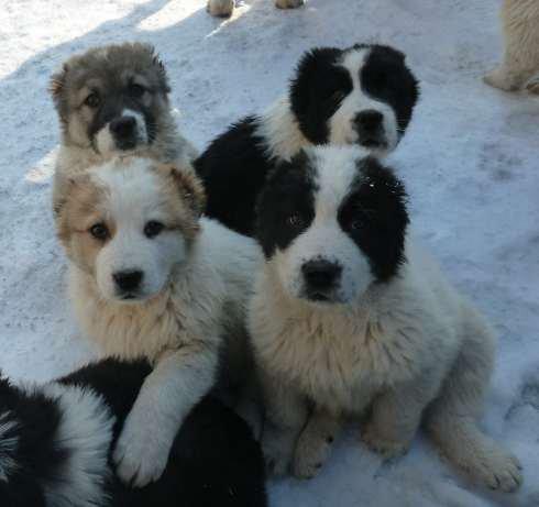 В Мариуполе продаются щенки алабаи (среднеазиатской овчарки) (фото) - фото 3