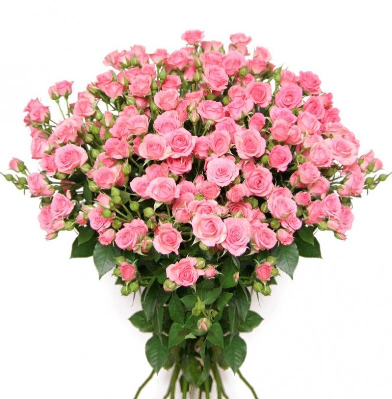 роза кустовая малиновая 15 грн