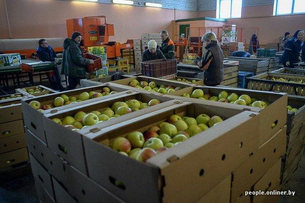 Жизнь в гродненском колхозе «Квасовка»: зарплата 7 млн и свинина за 60 тыс. (Фото), фото-38