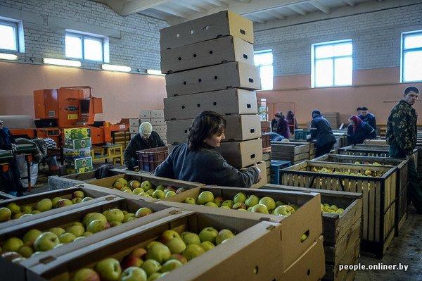 Жизнь в гродненском колхозе «Квасовка»: зарплата 7 млн и свинина за 60 тыс. (Фото), фото-37