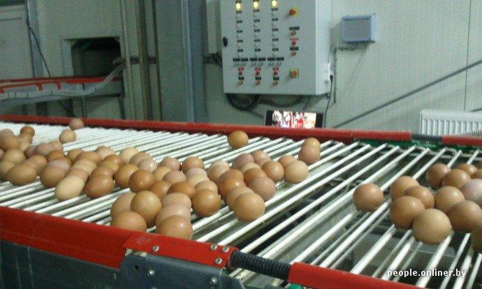 Фоторепортаж: как производят гродненские яйца под марками «Боярские», «Большие» и «Ну очень большие», фото-35