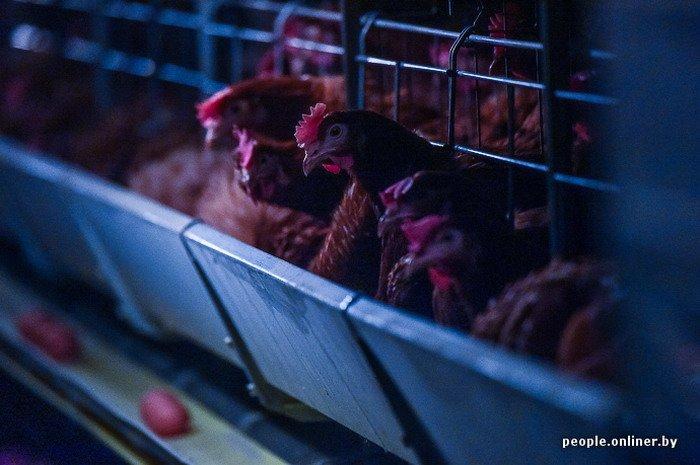 Фоторепортаж: как производят гродненские яйца под марками «Боярские», «Большие» и «Ну очень большие», фото-29