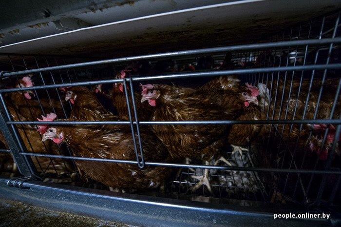 Фоторепортаж: как производят гродненские яйца под марками «Боярские», «Большие» и «Ну очень большие», фото-19