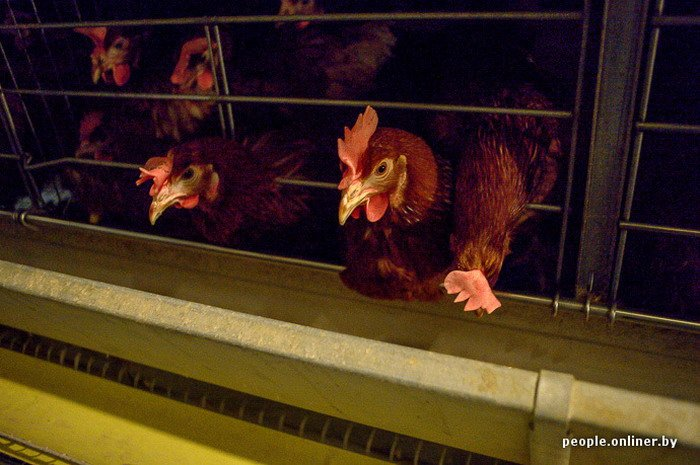 Фоторепортаж: как производят гродненские яйца под марками «Боярские», «Большие» и «Ну очень большие», фото-23