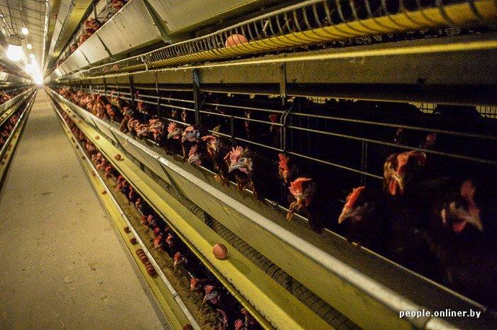 Фоторепортаж: как производят гродненские яйца под марками «Боярские», «Большие» и «Ну очень большие», фото-20