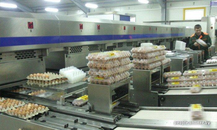 Фоторепортаж: как производят гродненские яйца под марками «Боярские», «Большие» и «Ну очень большие», фото-34